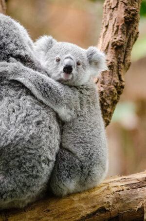 grey-koala-146071